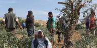 مستوطنون يقطعون 20 شجرة زيتون قرب نابلس