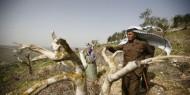 مستوطنون يقتلعون أشجار زيتون بيطا وفلسطيني يهدم منزله بالولجة